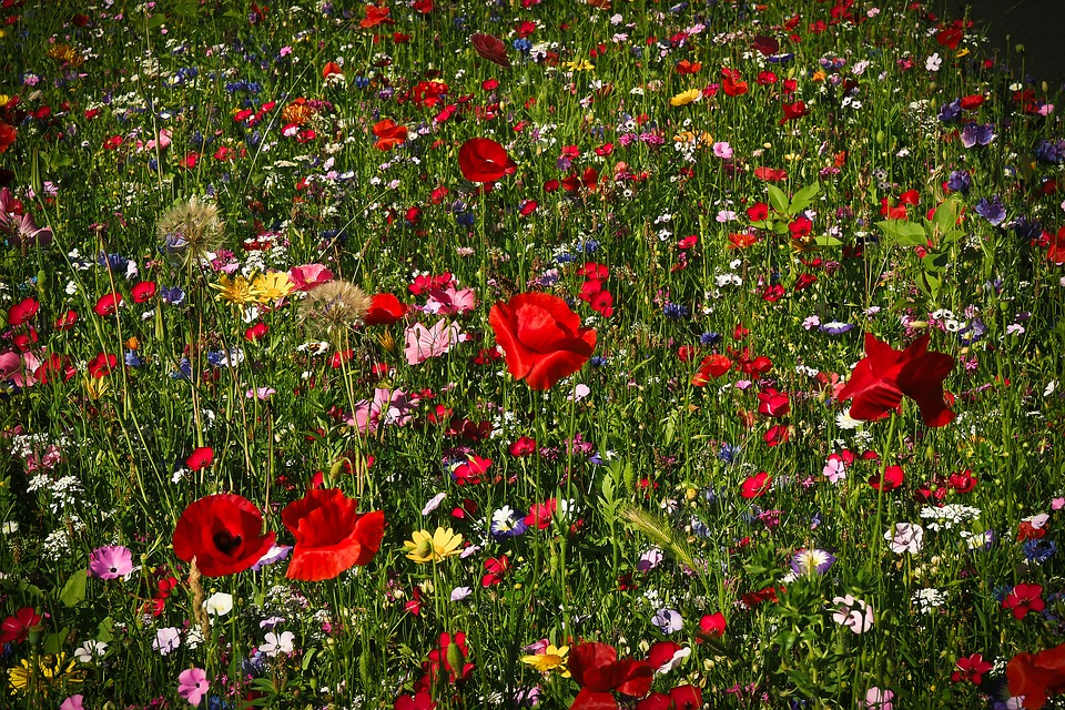 flower-meadow-1491706_960_720 (c) pixabay